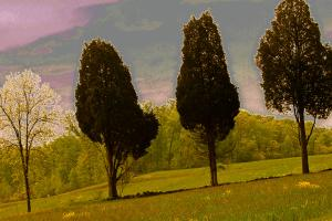 Three Cedars in Blossom Time. Photograph by Dan Mangan