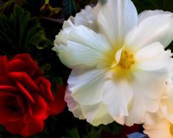 Two Begonias. Photograph by Dan Mangan