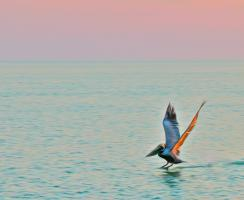 Brown Pelican in Pastel Twilight, Gulf of Mexico. Photograph by Dan Mangan