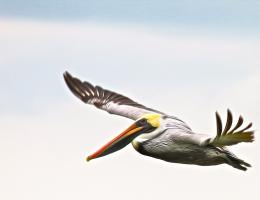 Brown Pelican in Flight. Photograph by Dan Mangan