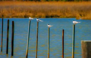 Common Terns, Maryland Eastern Shore. Photograph by Dan Mangan