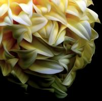 Dahlia Meringue. Photograph by Dan Mangan