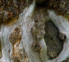 Bark, Goodding's Willow