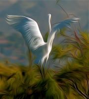 Great Egret Alighting. Photograph by Dan Mangan