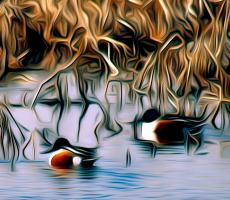 In the Marsh: Northern Shoveler Ducks. Photograph by Dan Mangan