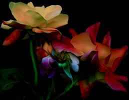 Roses Merveilleuses