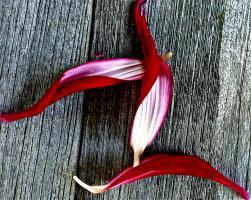 Three Red Petals. Photograph by Dan Mangan