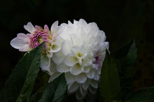 Two Dahlias 2