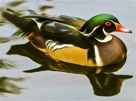 Wood Duck. Photograph by Dan Mangan