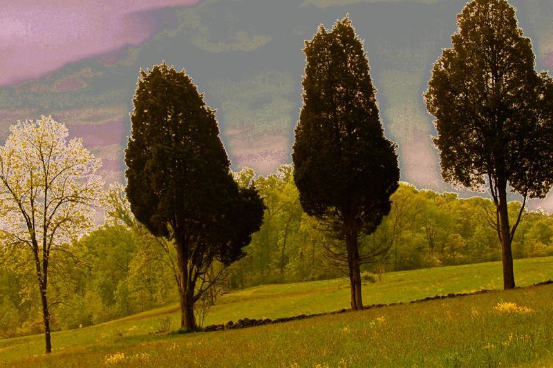 Three Cedars in Blossom Time. Photograph by Dan Mangan