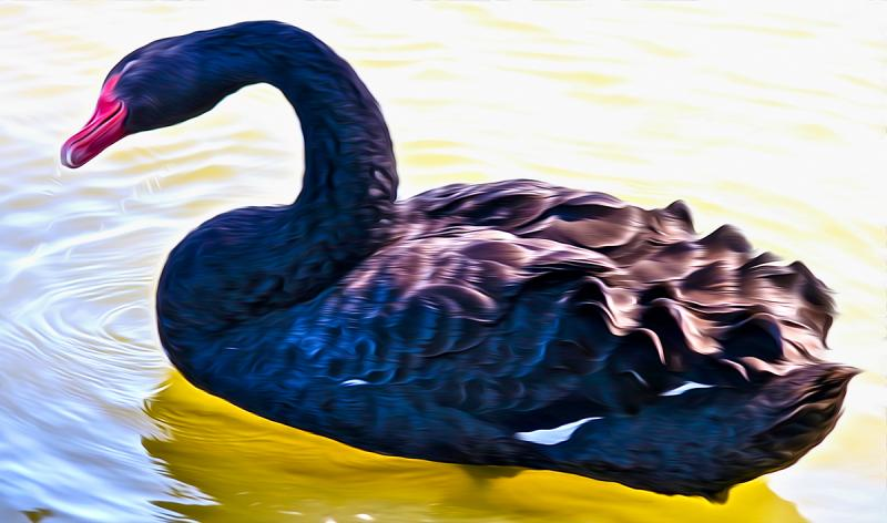 Black Swan. Photograph by Dan Mangan