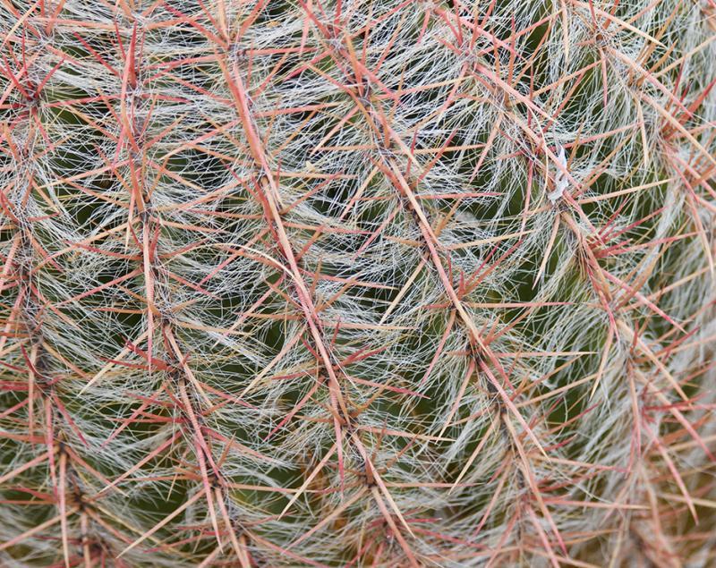 Sonoran Cactus 2