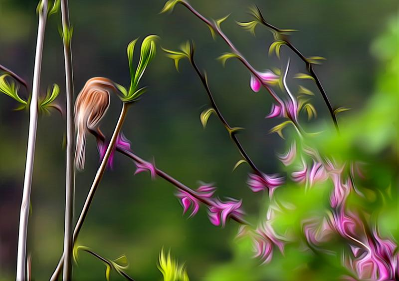 Field Sparrow on Eastern Redbud. Photograph by Dan Mangan