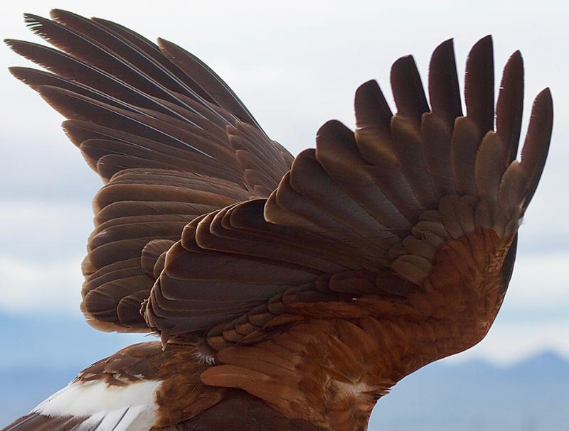 Primed for Flight, Harris's Hawk