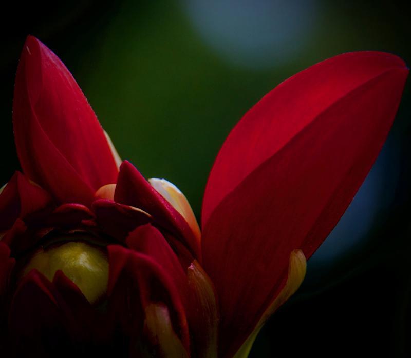 Scarlet Dahlia Emerging