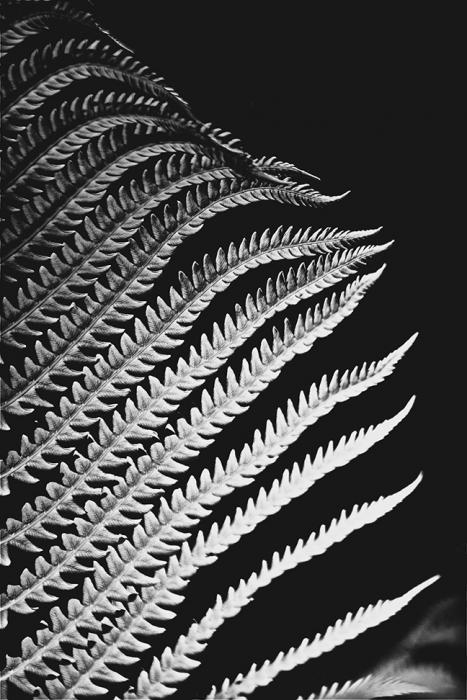 Ostrich Fern Detail