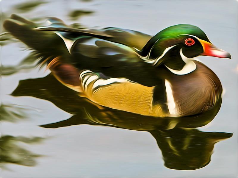 Wood Duck. Photograph by Dan Mangan