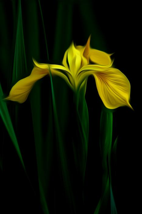 Yellow Iris.  Photograph by Dan Mangan
